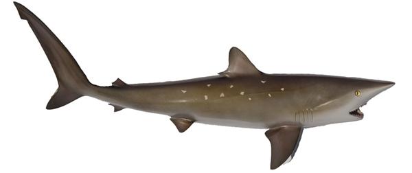 Sharpnose shark fishmount for Global fish mounts