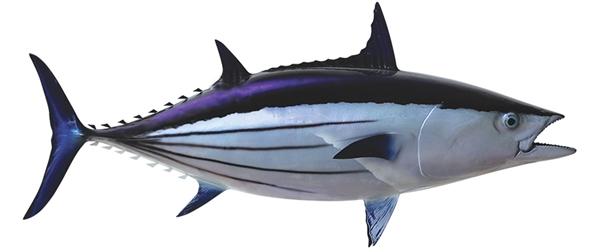 Skip jack tuna fishmount for Global fish mounts