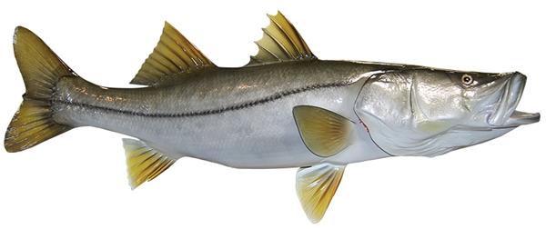 Snook fishmount for Global fish mounts