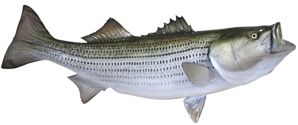Striped bass fishmount for Global fish mounts