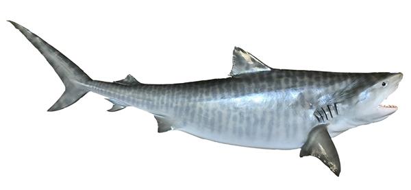 Tiger shark fishmount for Global fish mounts