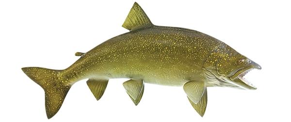 Lake trout fishmount for Global fish mounts