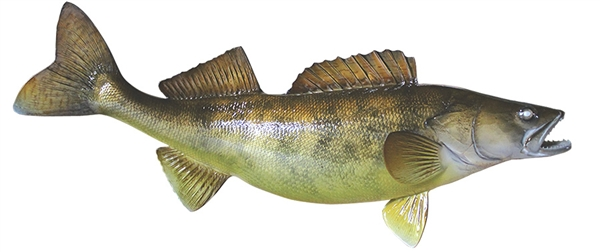 Walleye fishmount for Global fish mounts