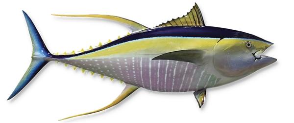Yellow fin tuna fishmount for Global fish mounts