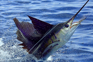 Billfish mounts