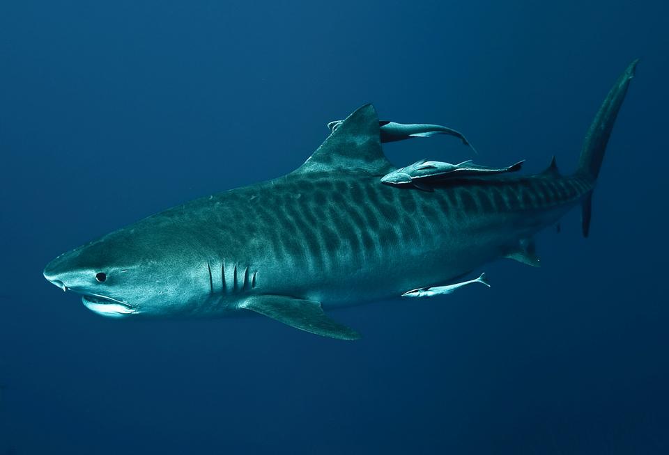 Tiger shark guide by asoturookeryclub on deviantart for Global fish mounts