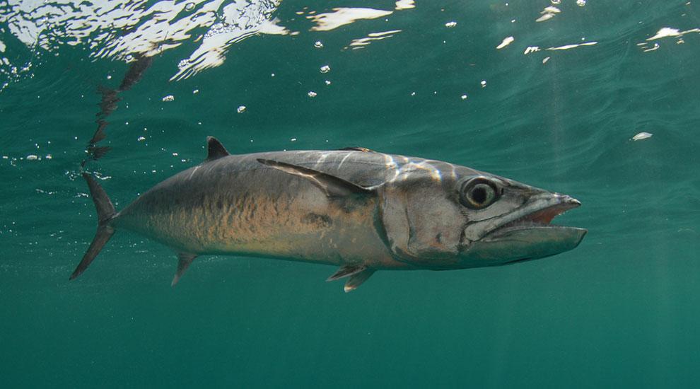 king mackerel fishmount